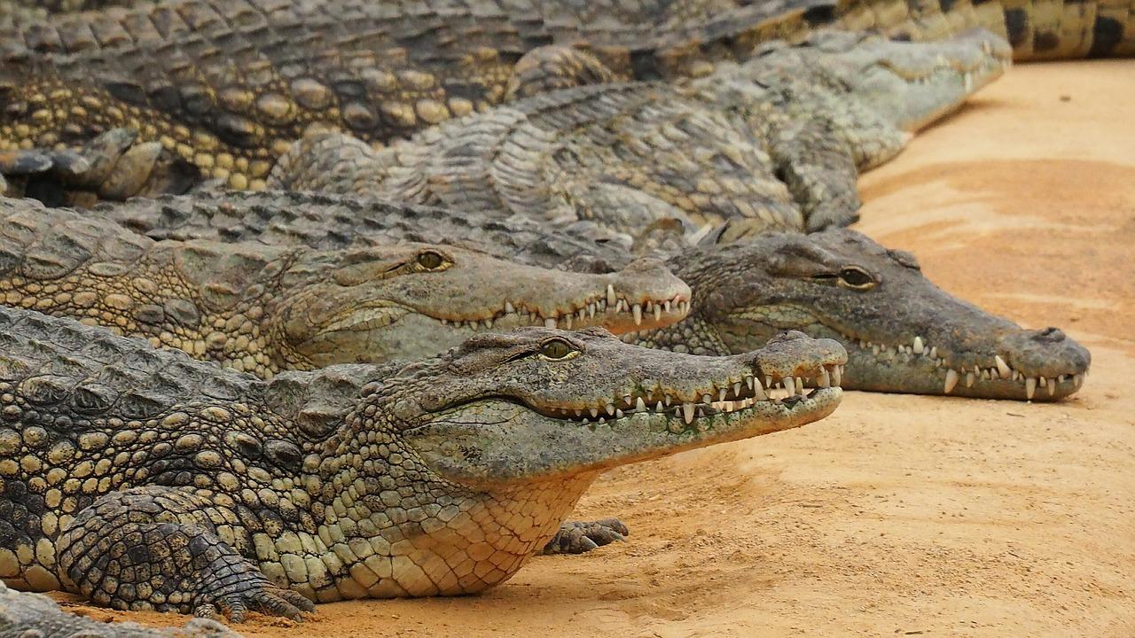 Krokodillen op dierenpark Hoenderdeall